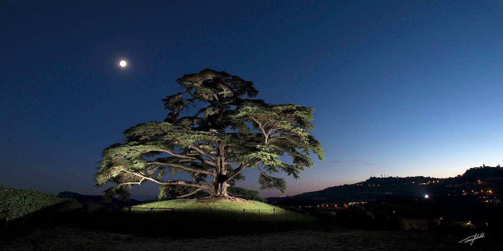 Il Cedro del Libano - Cordero di Montezemolo